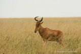 Hartebeest - Hartebeest