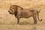 Lion - Leeuw