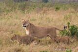 Lions - Leeuwen