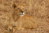 Lioness - Leeuwin
