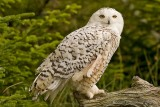 Snow owl - Sneeuwuil