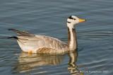 Barheaded goose - Indische gans