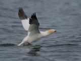 Gannet take off sequence, Ailsa Craig, Ayrshire