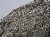 Gannet Colony, Ailsa Craig, Ayrshire