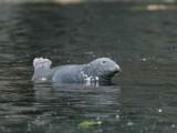 Grey Seal, Ailsa Craig, Ayrshire