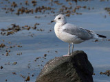 Common Gull, Gourock, Clyde