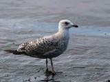 Herring Gull, Gourock, Clyde