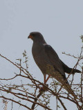 Dark Chanting Goshawk, Awash NP