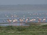 Lesser Flamingo, Lake Abiatta