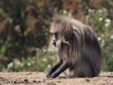 Gelada Baboon, Simien Mountains NP