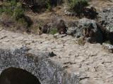 Gelada Baboons, Portugese Bridge, Debre Libanos