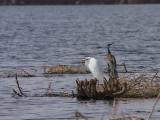 Great White Egret, Lake Beseka, near Awash