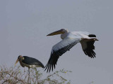 Great White Pelican, Lake Ziway