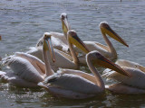 Great White Pelican, Awassa fish market