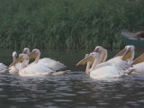 Great White Pelican, Lake Tana