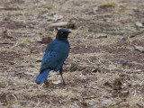 Greater Blue-eared Glossy Starling, Lalibela