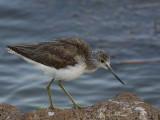 Common Greenshank, Lake Awassa