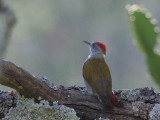Grey-headed Woodpecker, Debre Libanos