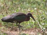 Hadada Ibis, Lake Ziway