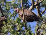 Hooded Vulture, Debre Birhan Selassie Church, Gonder