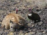 Hooded Vulture, Metahara