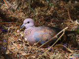 Laughing Dove, Lalibela