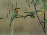 Little Bee-eater, near Axum
