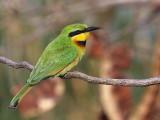 Little Bee-eater, Lake Tana Bahir Dar