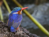 Malachite Kingfisher, Lake Awassa