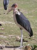 Marabou Stork, Lake Koka