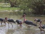 Marabou Stork, Lake Ziway