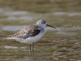 Marsh Sandpiper, Lake Beseka