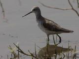 Marsh Sandpiper, Lake Awassa