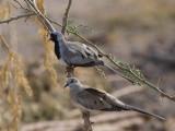 Namaqua Dove, Ankober