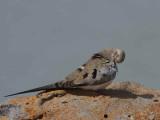 Namaqua Dove, Lake Tana Bahir Dar