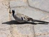 Namaqua Dove, Bahir Dar