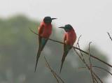 Northern Carmine Bee-eater, Bahir Dar