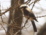 Northern White-crowned Shrike, Awash NP