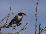 Northern White-crowned Shrike, near Negele