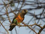Orange-bellied Parrot, near Yabello
