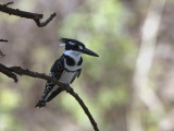 Pied Kingfisher, near Ankober