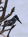 Pied Kingfisher, Lake Tana