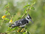 Pied Kingfisher, Lake Ziway