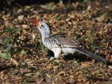 Northern Red-billed Hornbill, Lake Langano