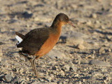 Rouget's Rail, near Dinsho Bale NP