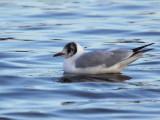 Black-headed Gull, Strathclyde Loch, Clyde
