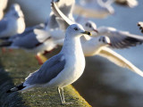 Ring-billed Gull, Dundee