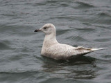 Iceland Gull, Troon Harbour, Ayrshire