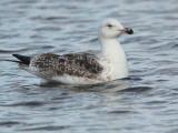 Great Black-backed Gull (2nd winter), Hogganfield Loch, Glasgow