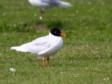 Mediterranean Gull (adult summer), Buckhaven, Fife